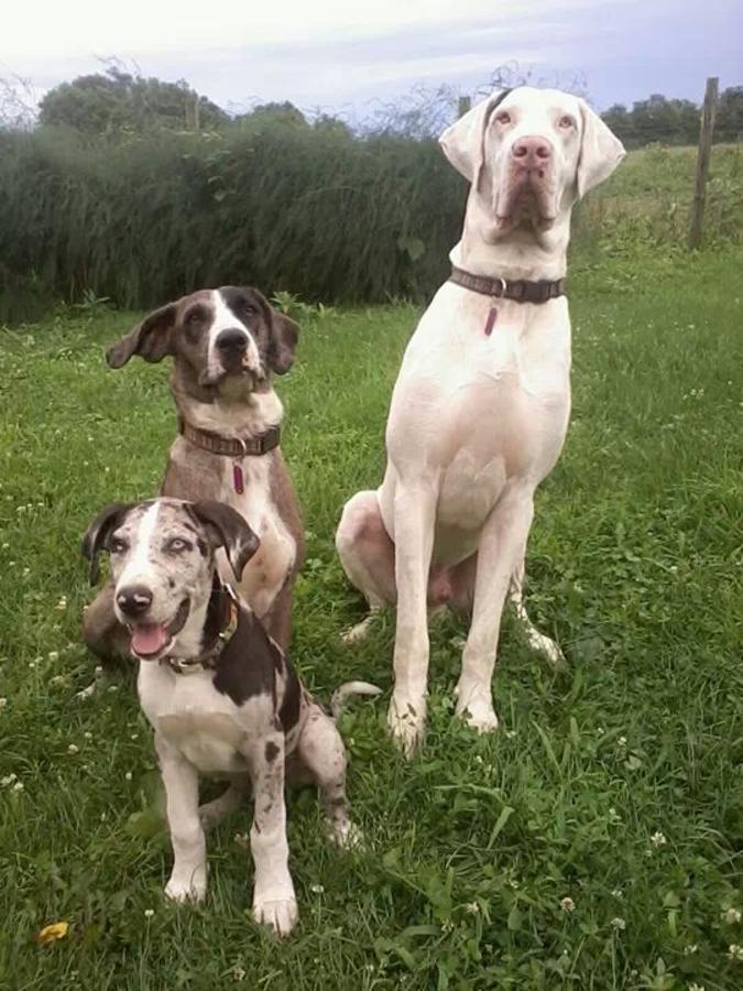 Catahoula Cur Puppies: Catahoula Great Dane Catahoula Cur Puppies Casstown Ohio Breed