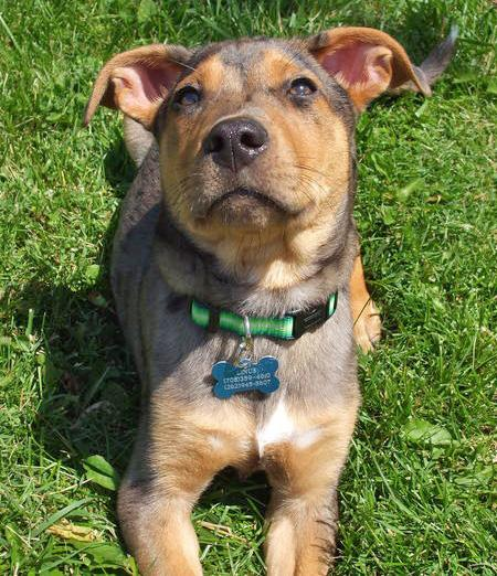 Catahoula Cur Puppies: Catahoula Linus The Catahoula Leopard Dog Breed