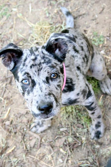 Catahoula Cur Puppies: Catahoula Lola The Catahoula Leopard Mix Breed