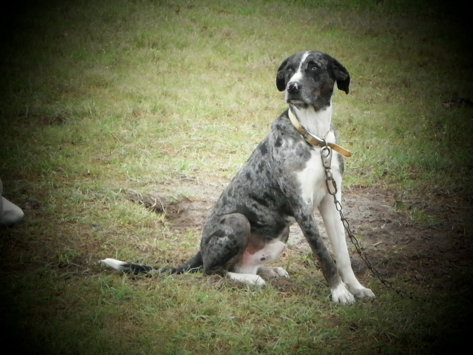 Catahoula Cur Dog: Catahoula What Is Cur Dog Breed