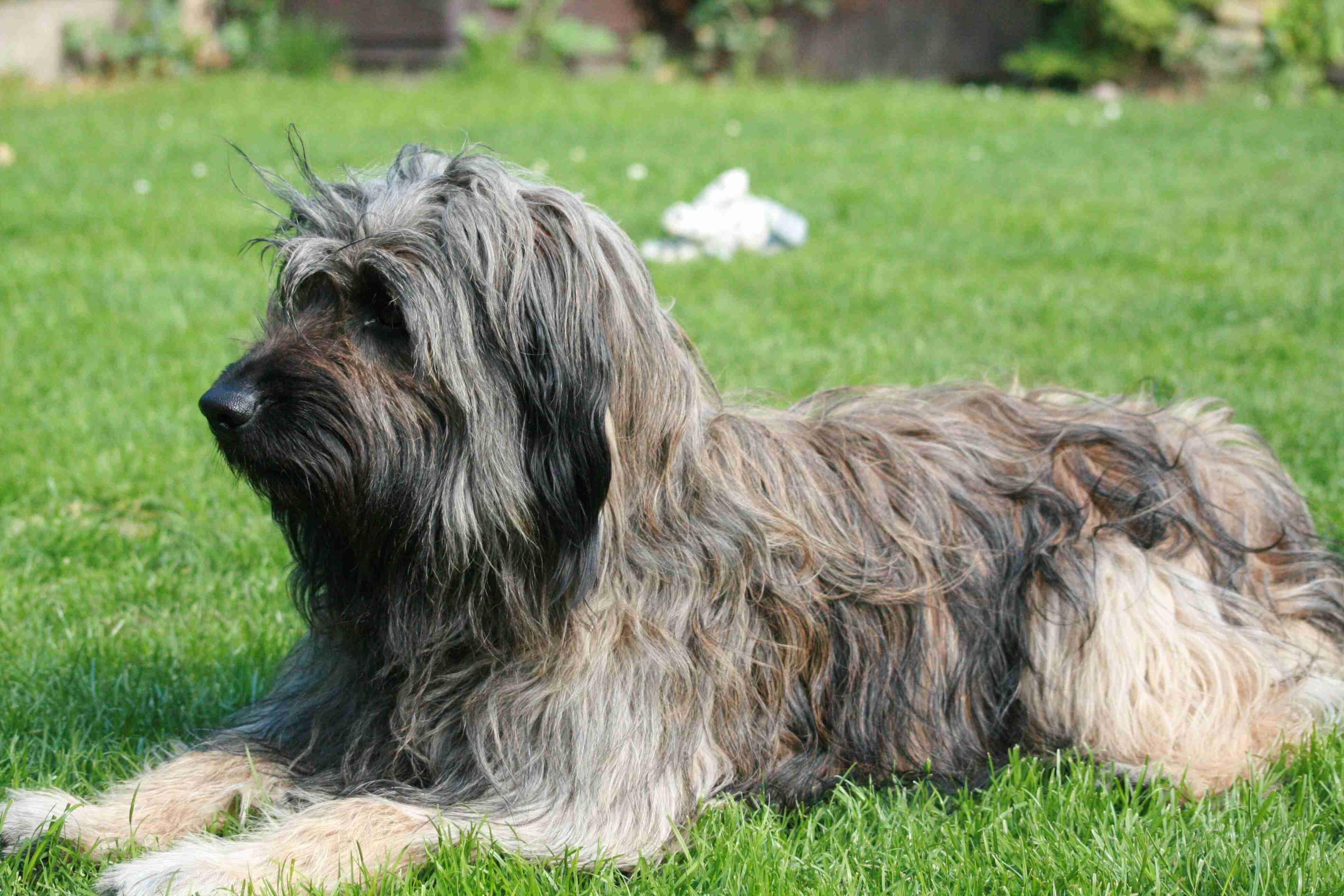 Catalan Sheepdog Dog: Catalan Beautiful Catalan Sheepdog Dog Breed