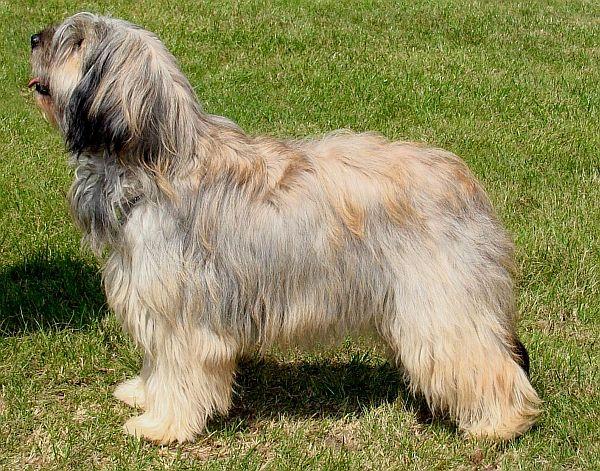 Catalan Sheepdog Dog: Catalan Catalan Sheepdog Mei Breed