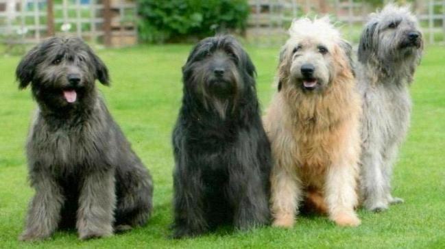 Catalan Sheepdog Puppies: Catalan Catalan Sheepdog Puppies Expected May June Ulceby Breed