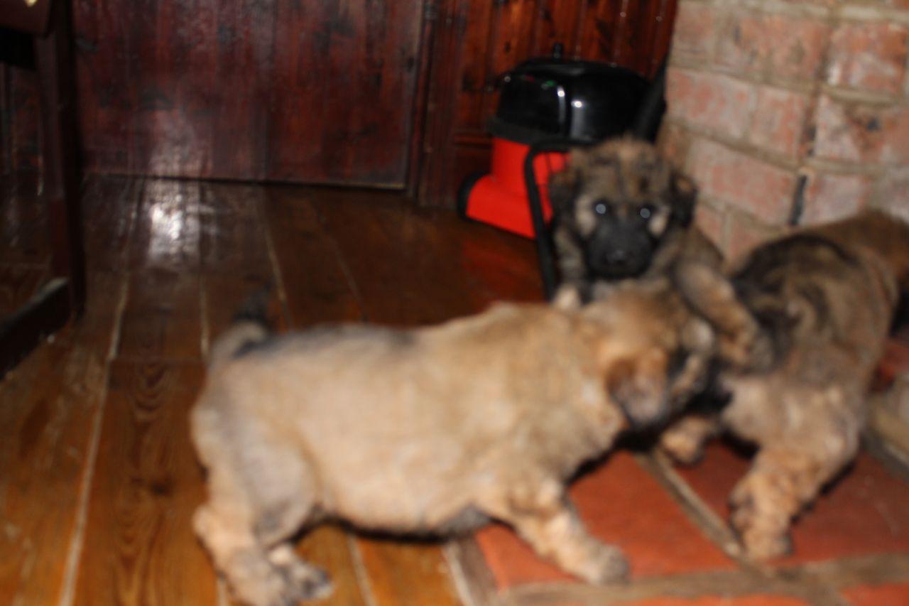 Catalan Sheepdog Puppies: Catalan Catalan Sheepdog Puppies Ulceby Breed