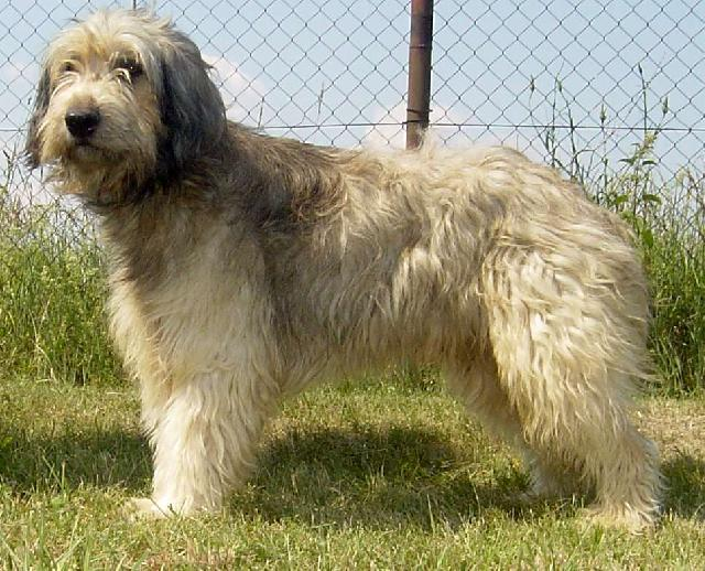 Catalan Sheepdog Dog: Catalan S Breed