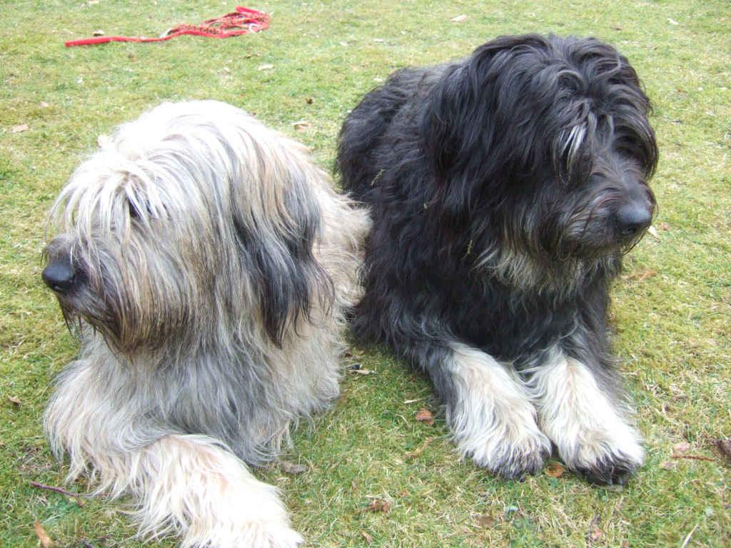 Catalan Sheepdog Dog: Catalan Two Catalan Sheepdog Dogs Breed