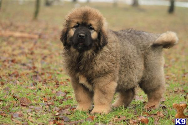 Caucasian Shepherd Puppies: Caucasian Caucasian Ovcharka Breed