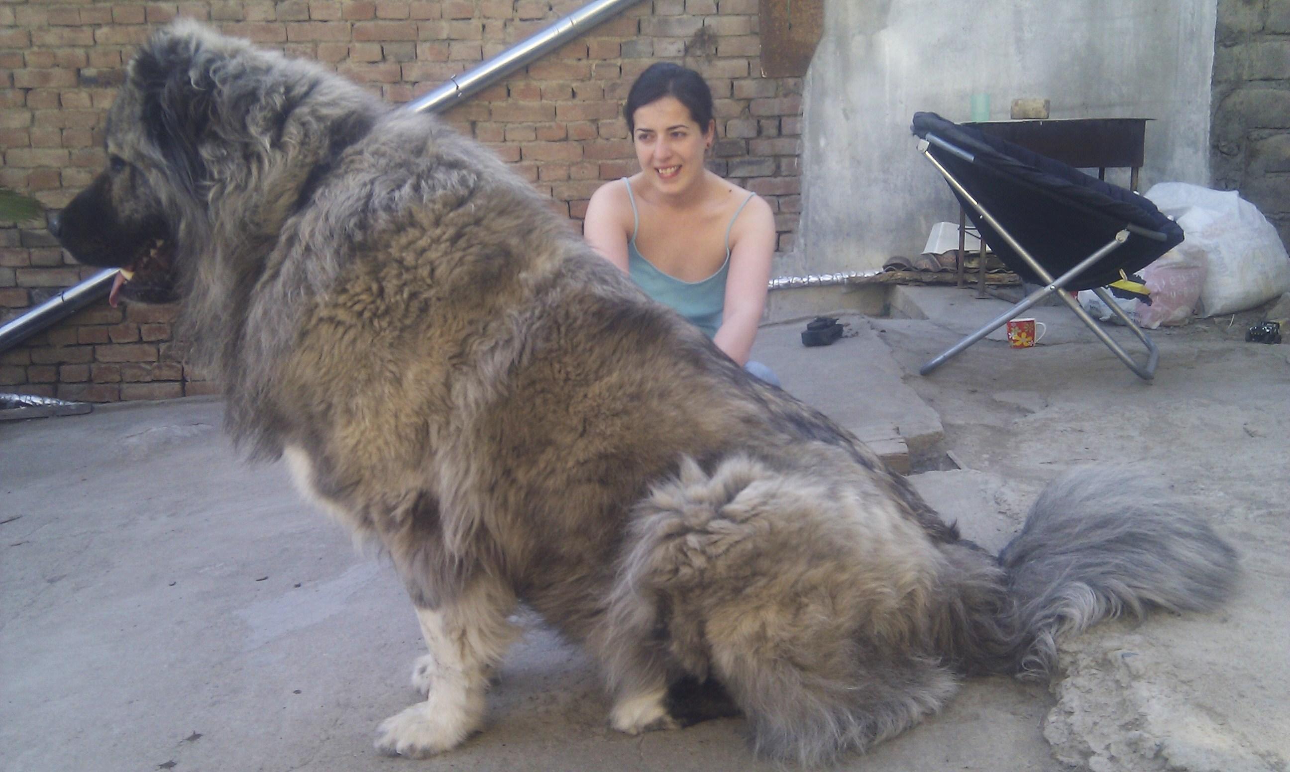 Caucasian Shepherd Dog: Caucasian Caucasian Shepherd Dog Breed