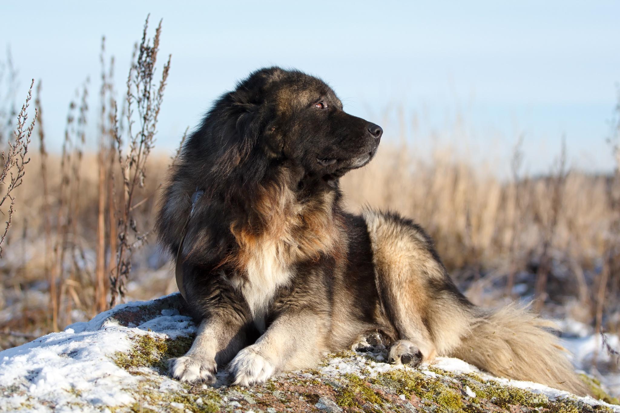 Caucasian Shepherd Dog: Caucasian Caucasian Shepherd Dog By Nika Petrova Breed