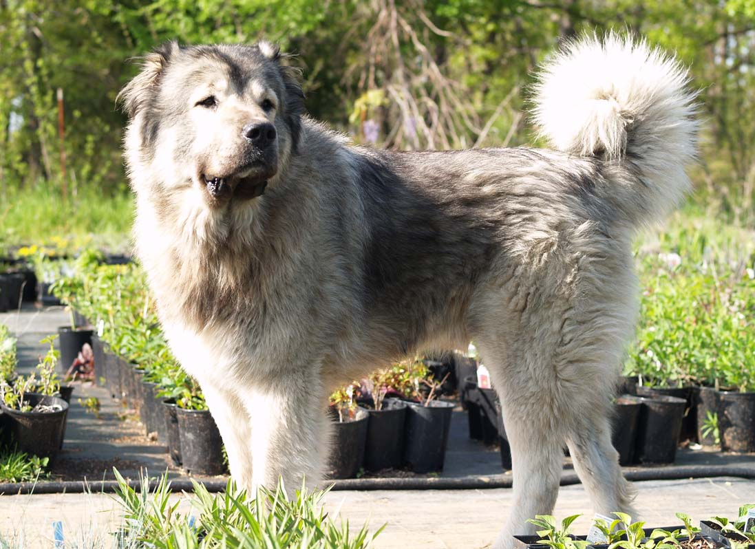 Caucasian Shepherd Dog: Caucasian Caucasian Shepherd Dog Pictures Breed