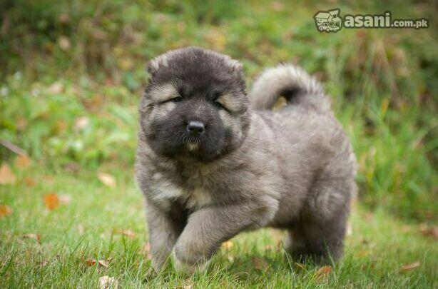 Caucasian Shepherd Puppies: Caucasian Caucasian Shepherd Puppies Breed