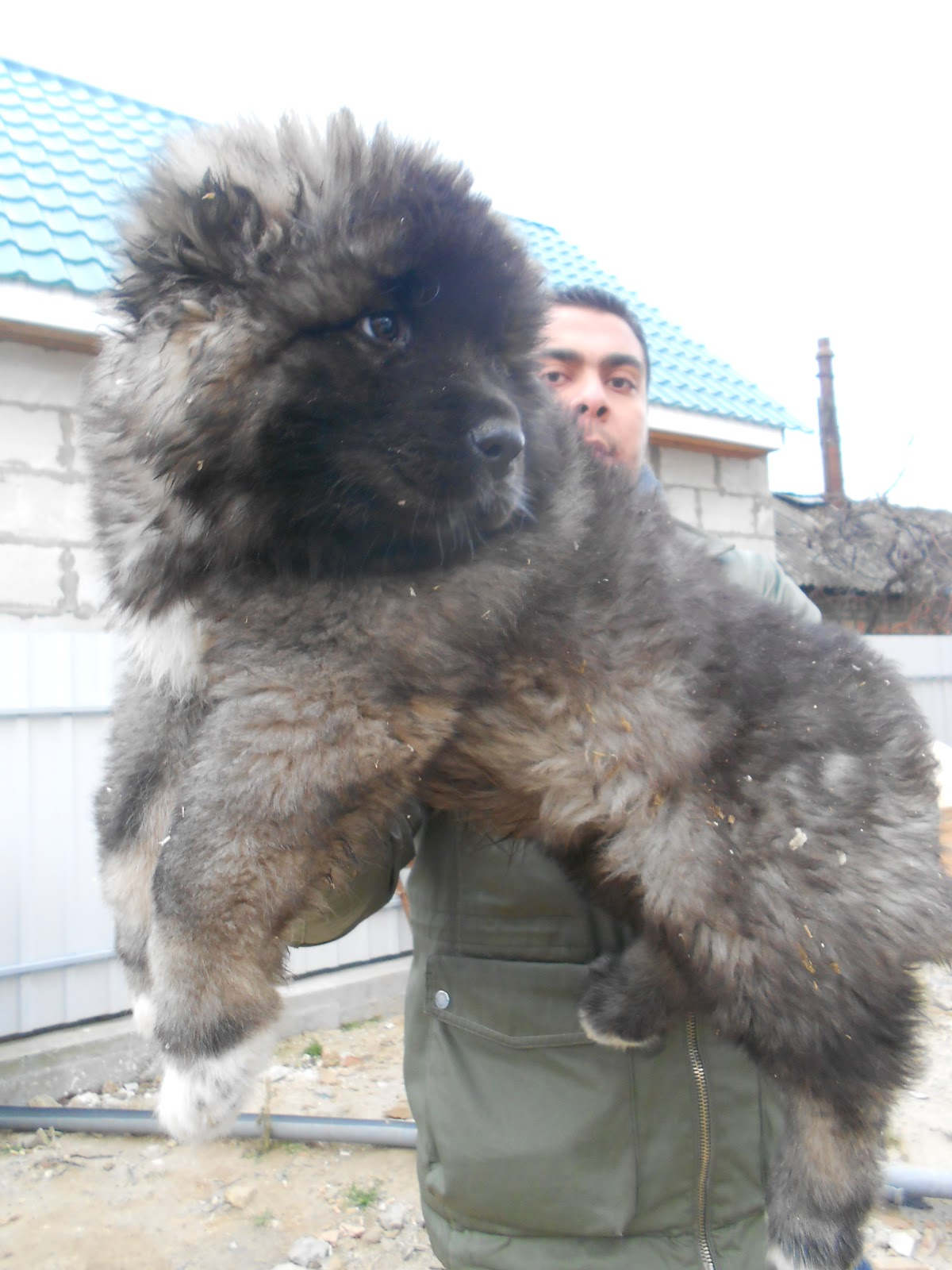 Caucasian Shepherd Puppies: Caucasian Caucasian Shepherd Puppies From Ukraine Breed