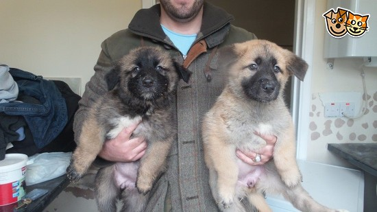 Caucasian Shepherd Puppies: Caucasian Caucasian Shepherd Puppies Harrow Breed