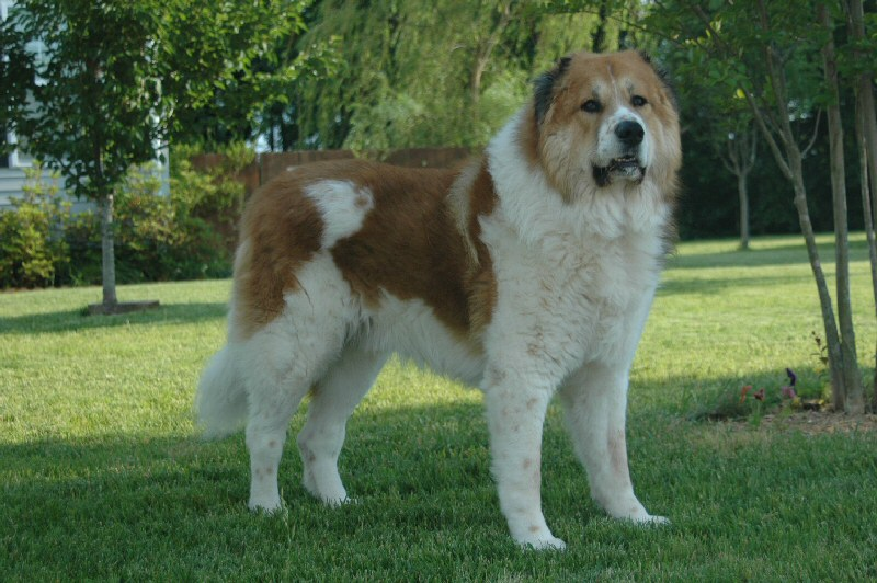 Caucasian Shepherd Dog: Caucasian Dogs Breed