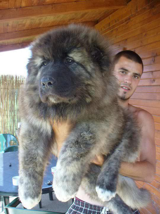Caucasian Shepherd Puppies: Caucasian Georgian Shepher Dog What You Should Breed