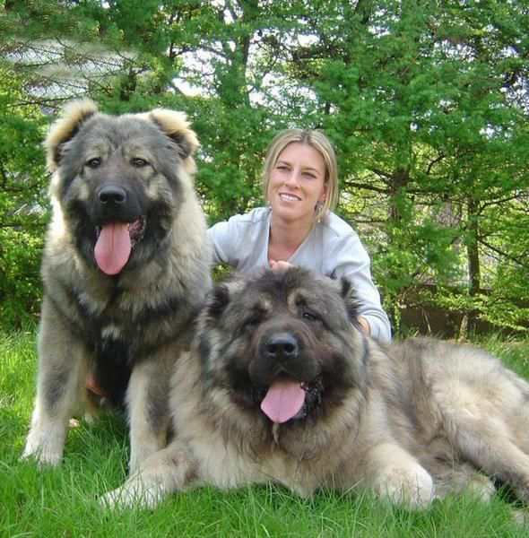Caucasian Shepherd Dog: Caucasian Know About Caucasian Shepherd Dog Breed