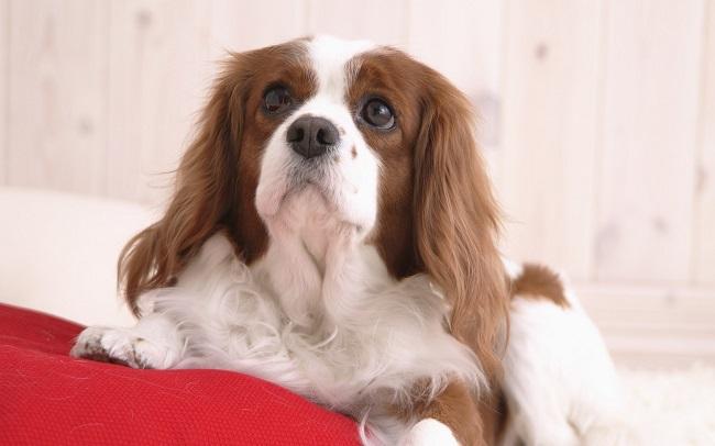 Cavalier King Charles Spaniel Dog: Cavalier Best Cavalier King Charles Spaniel Dog Names Breed