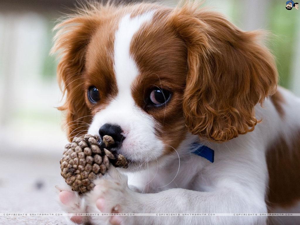 Cavalier King Charles Spaniel Dog: Cavalier Breed