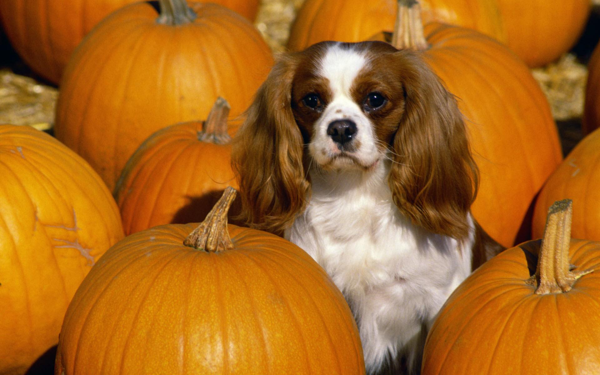 Cavalier King Charles Spaniel Dog: Cavalier Cavalier King Charles Spaniel Dog Pumpkins Breed