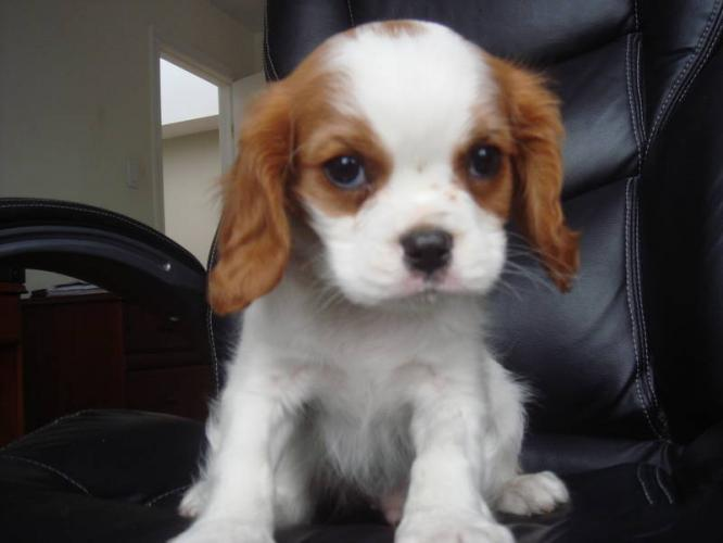 Cavalier King Charles Spaniel Puppies: Cavalier Cavalier King Charles Spaniel Puppies Breed