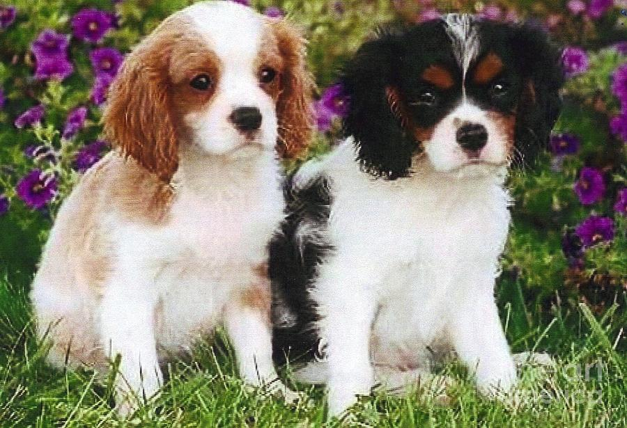 Cavalier King Charles Spaniel Puppies: Cavalier Cavalier King Charles Spaniel Puppies Diane Kurtz Breed