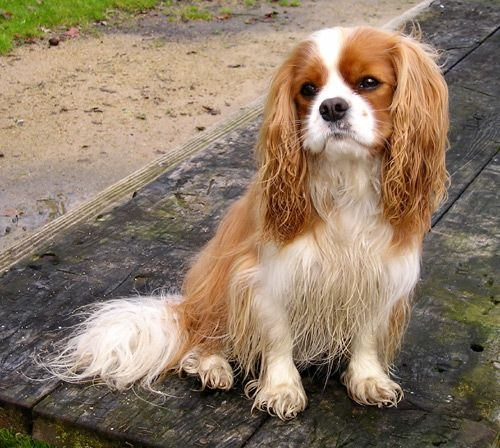 Cavalier King Charles Spaniel Dog: Cavalier Spaniel Dog Breed Pictures