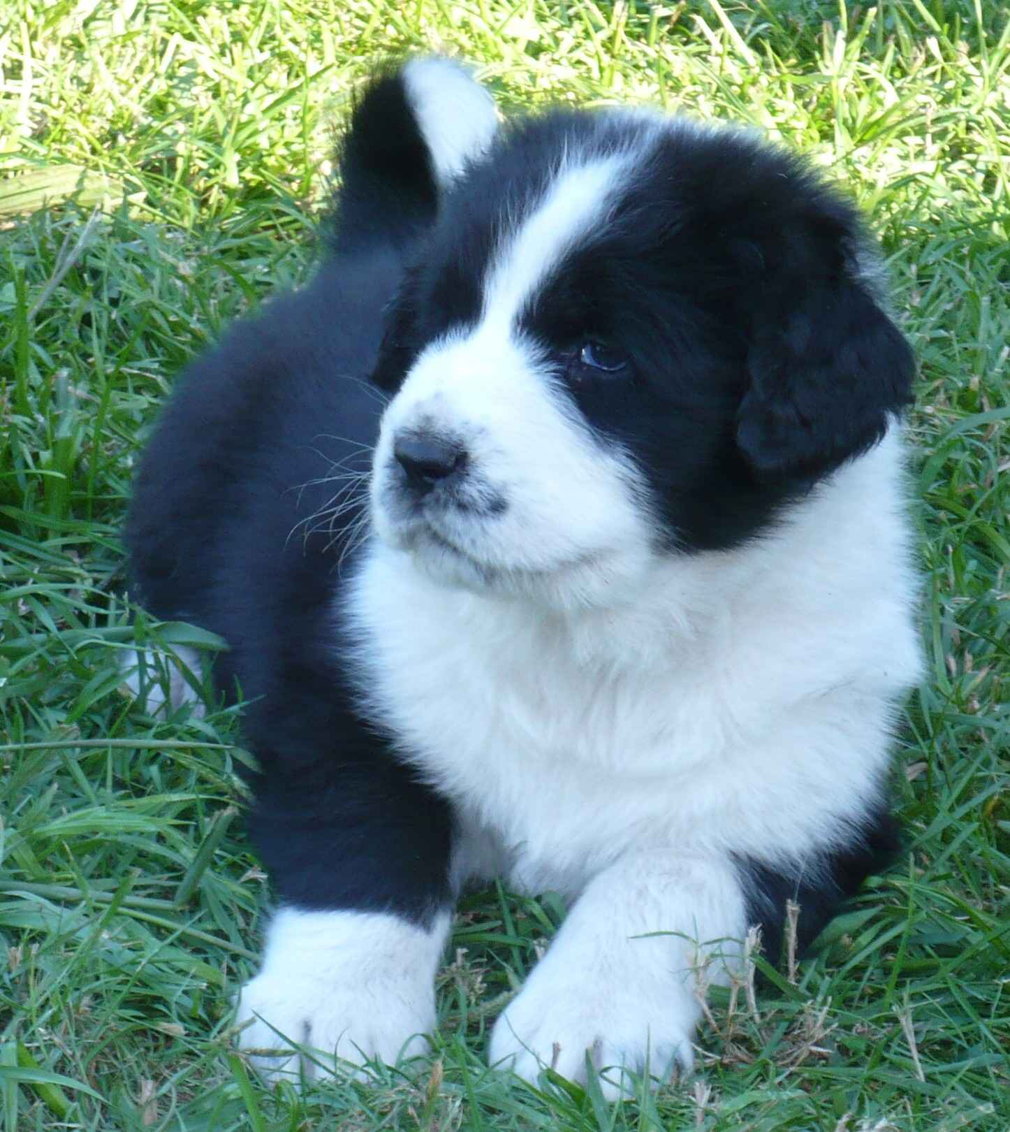 Central Asian Shepherd Puppies: Central Breed