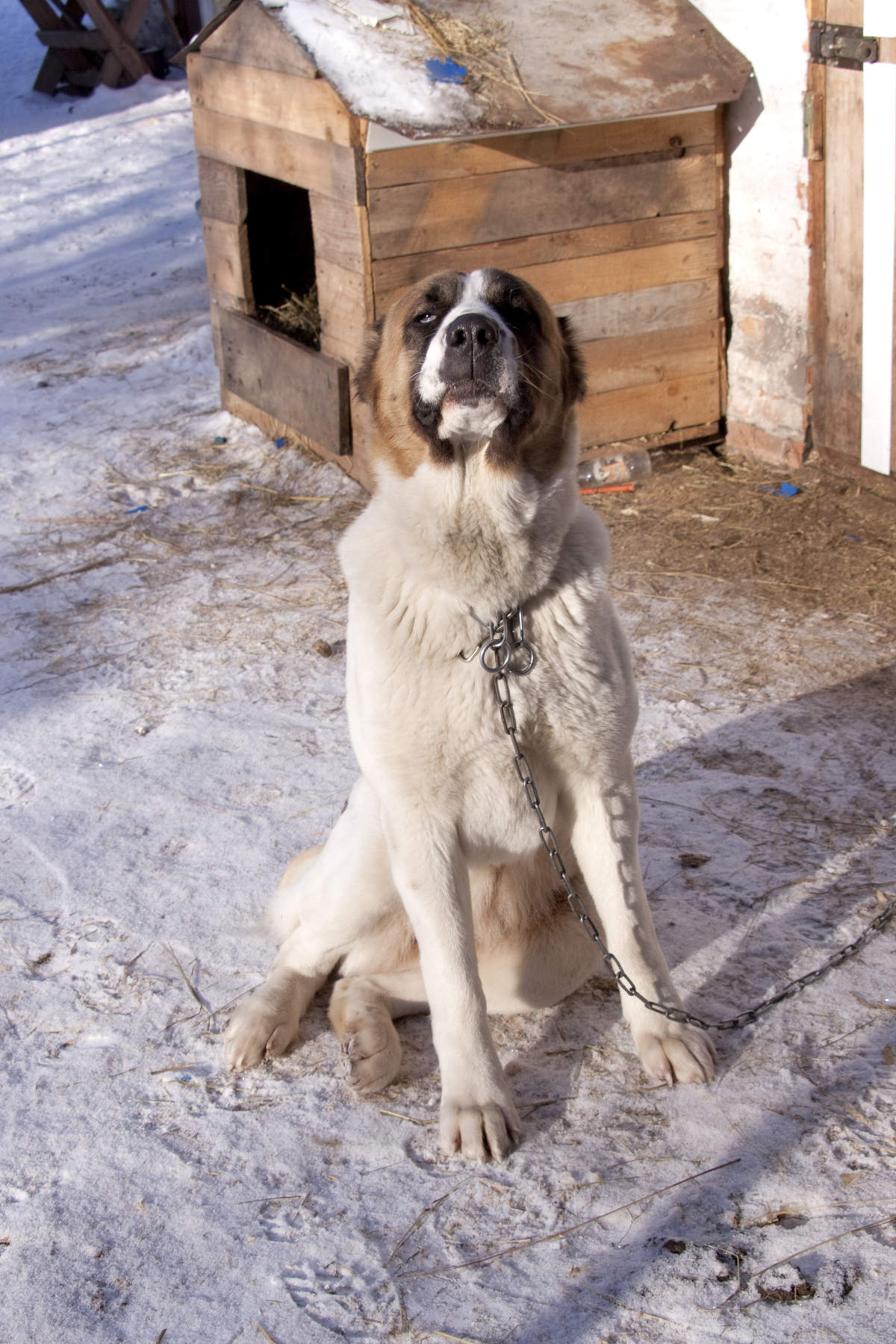 Central Asian Shepherd Dog: Central Central Asian Shepherd Dog Alabai Sits On Chain Around The Booth Breed