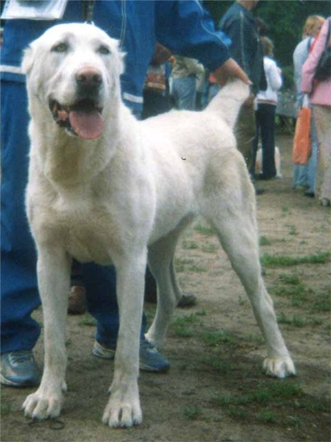 Central Asian Shepherd Dog: Central Central Asian Shepherd Dog Breed