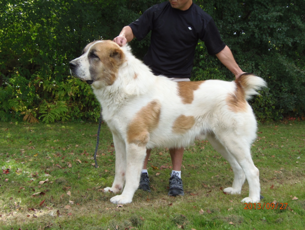 Central Asian Shepherd Puppies: Central Central Asian Shepherd Puppies Sale Breed