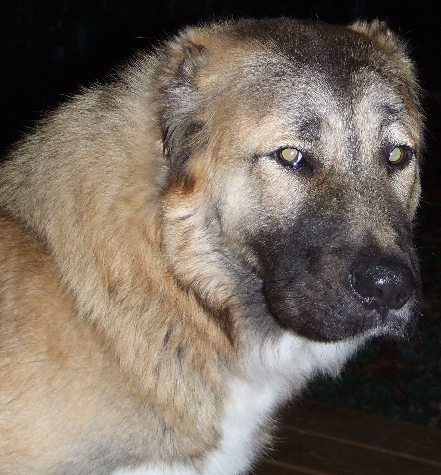 Central Asian Shepherd Dog: Central Centralasianshepherddog Breed