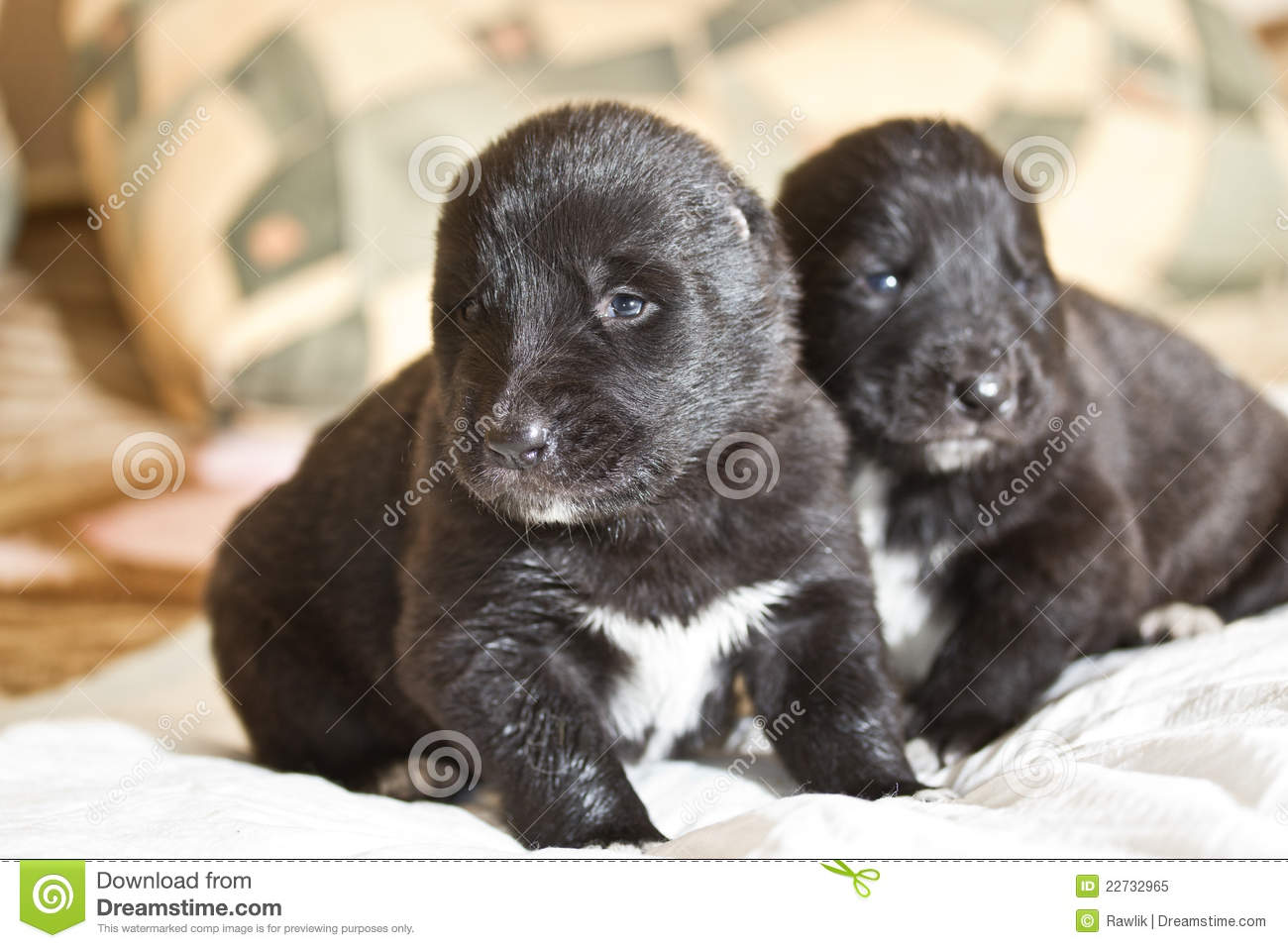 Central Asian Shepherd Puppies: Central Royalty Free Stock Central Asian Shepherd Puppies Breed