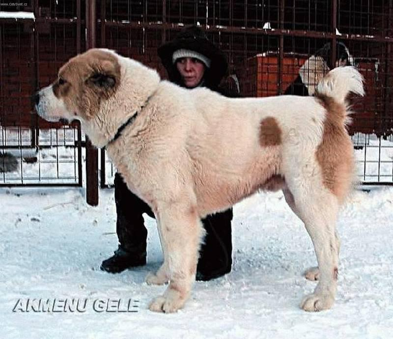 Central Asian Shepherd Dog: Central S Breed