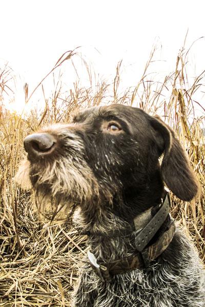 Cesky Fousek Dog: Cesky Breed Profile Cesky Fousek