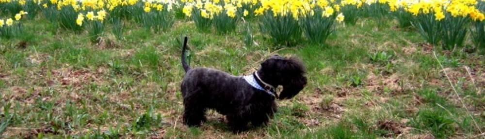 Cesky Terrier Puppies: Cesky Breeders And Puppies