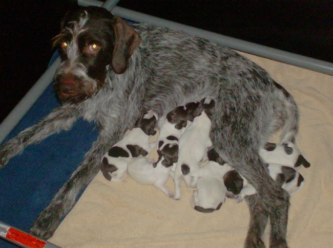 Cesky Fousek Puppies: Cesky Brigitte Vaes Cesky Fousek Puppies Te Koop Breed