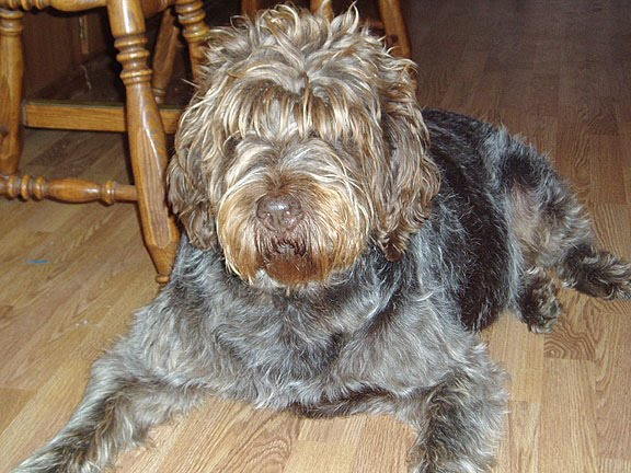 Cesky Fousek Dog: Cesky Cesky Fousek Dog Breed Pictures