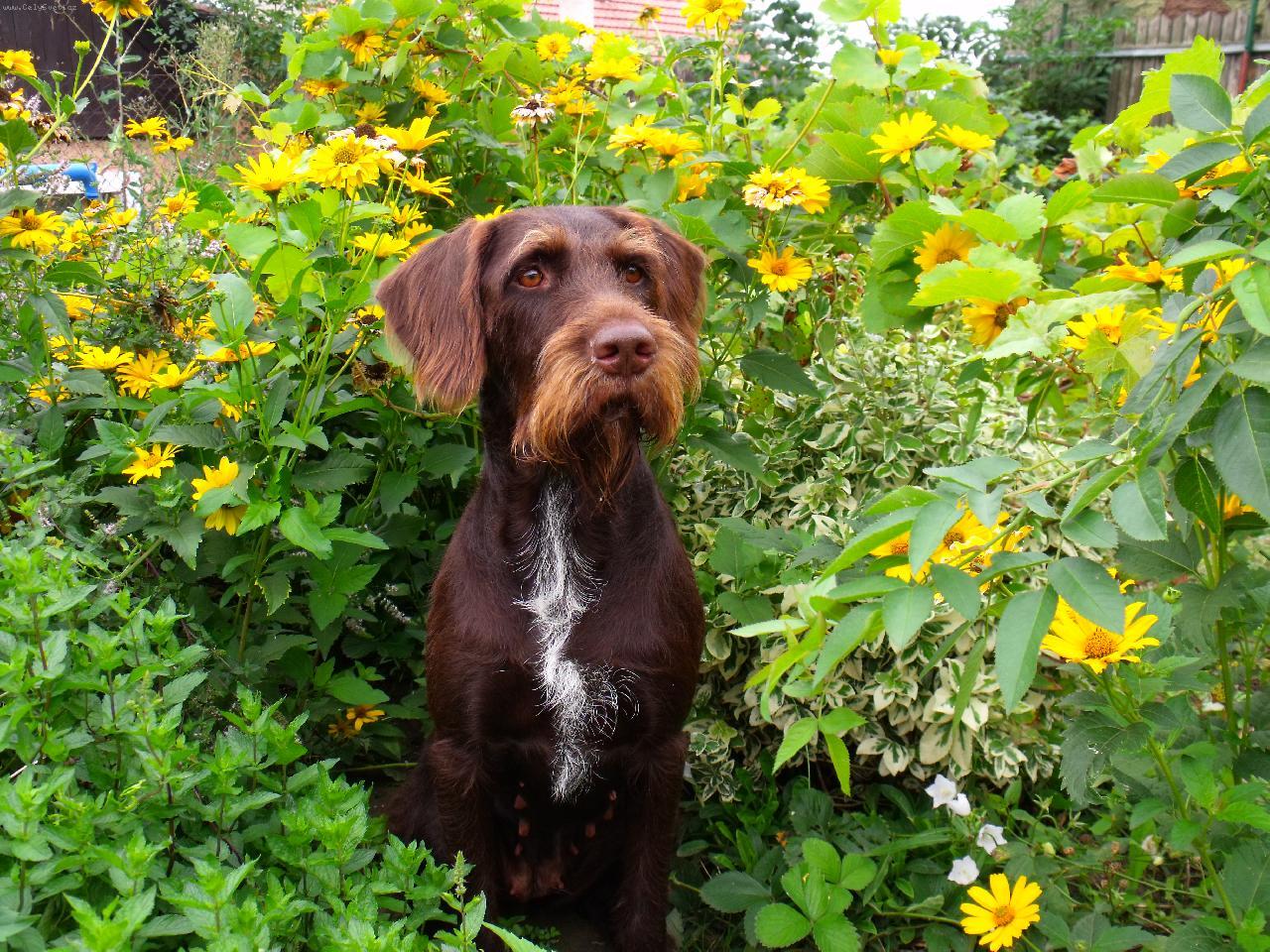 Cesky Fousek Dog: Cesky Cesky Fousek Dog In Bushes Wallaper Breed