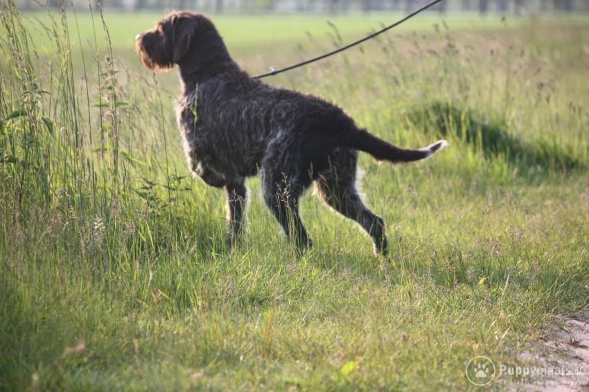 Cesky Fousek Puppies: Cesky Cesky Fousek Pups Breed
