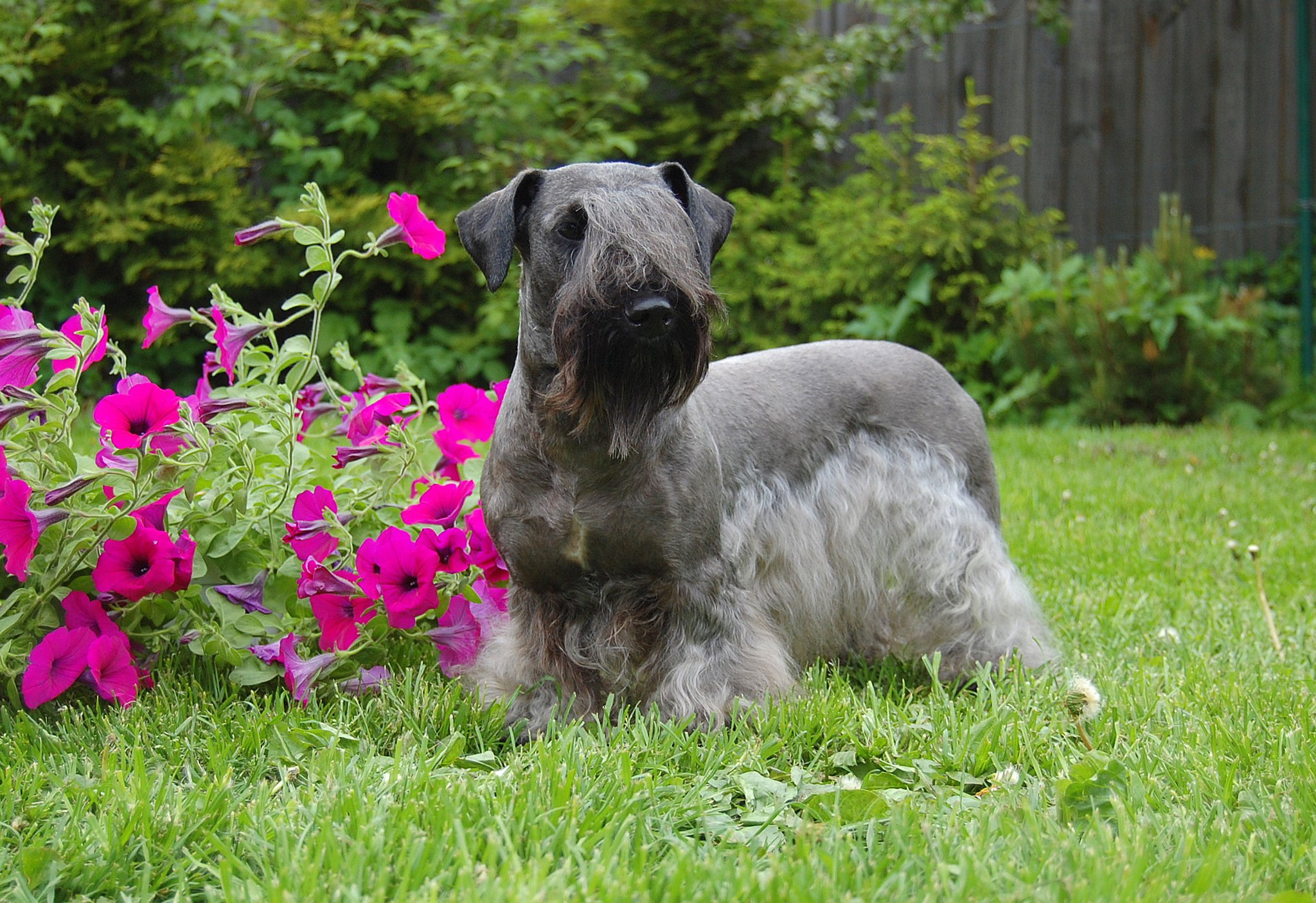 Cesky Terrier Dog: Cesky Cesky Terrier Dog On Grass Breed