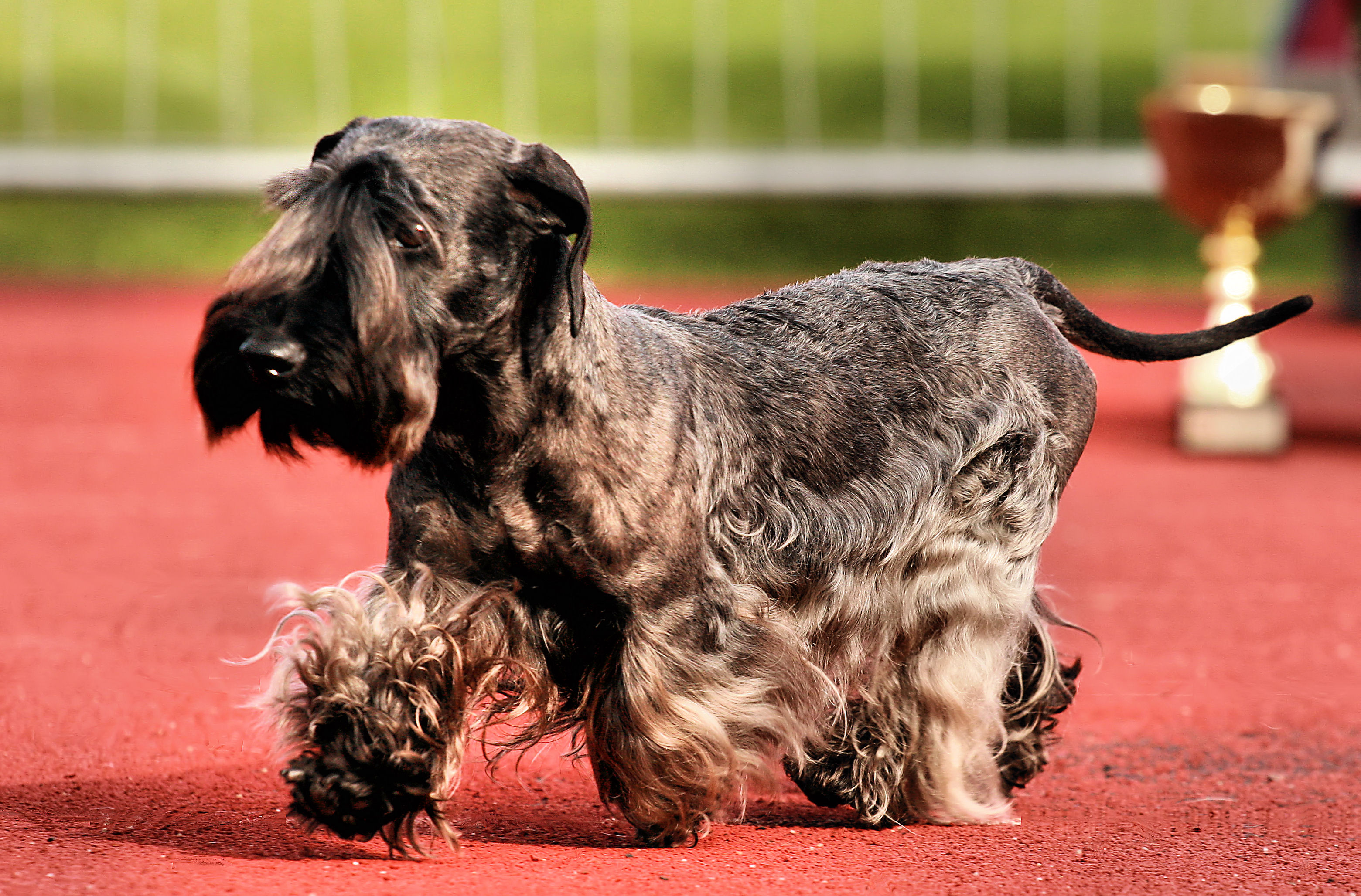 Cesky Terrier Dog: Cesky Cesky Terrier Walking Dog Show Breed
