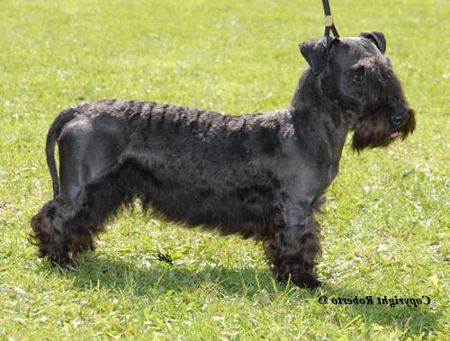 Cesky Terrier Puppies: Cesky Ceskyrueden Breed