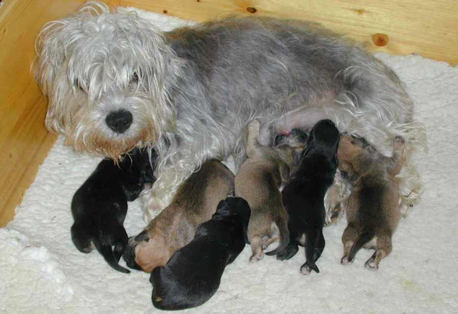 Cesky Terrier Puppies: Cesky Dandie Dinmont Terrier Breed
