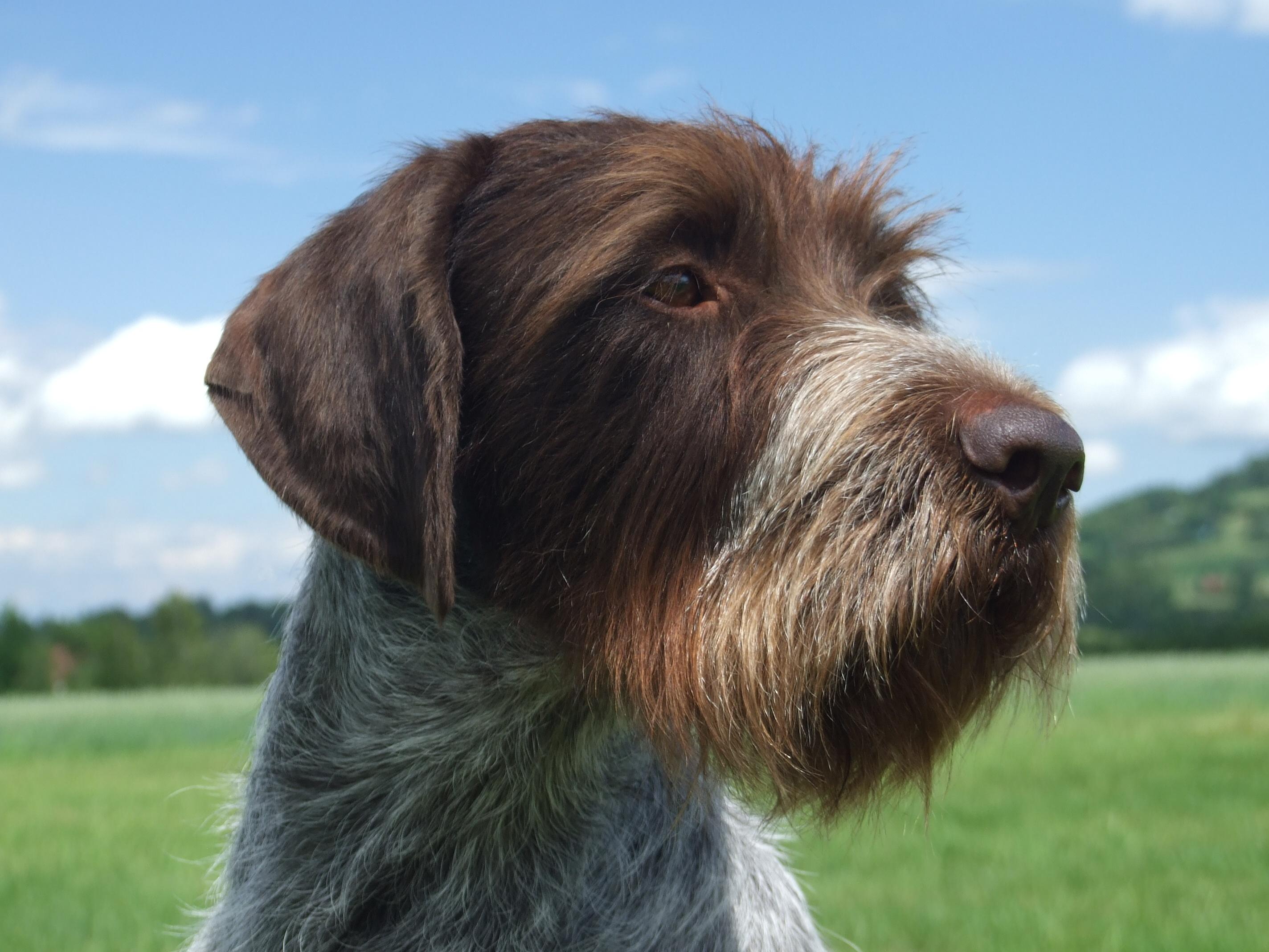 Cesky Fousek Dog: Cesky Funny Cesky Fousek Dog Face Breed