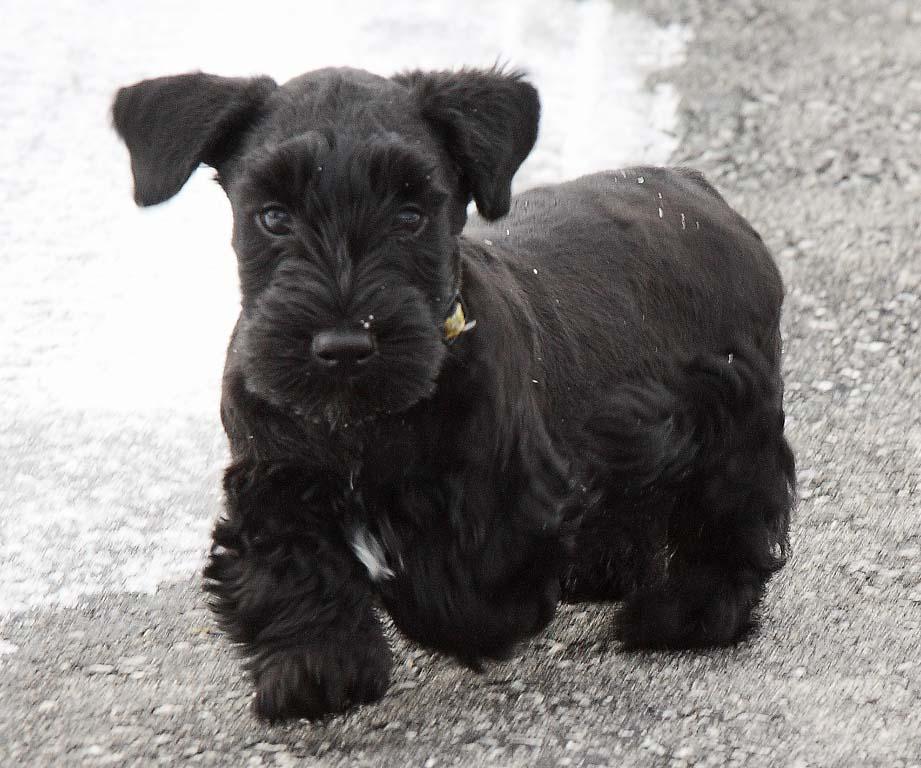 Cesky Terrier Puppies: Cesky Httpwwwbibgedogsbigjpg Breed