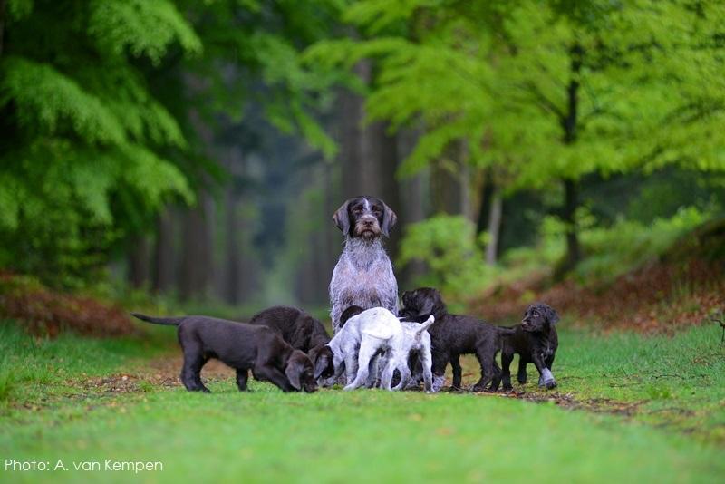 Cesky Fousek Puppies: Cesky Puppies In Het Bos Breed