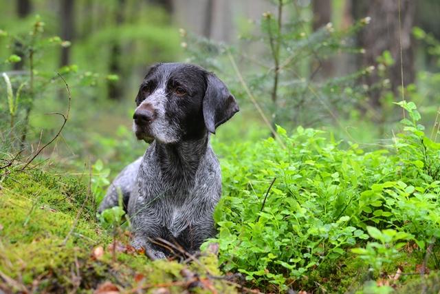 Cesky Fousek Puppies: Cesky Puppiesinhetbos Breed