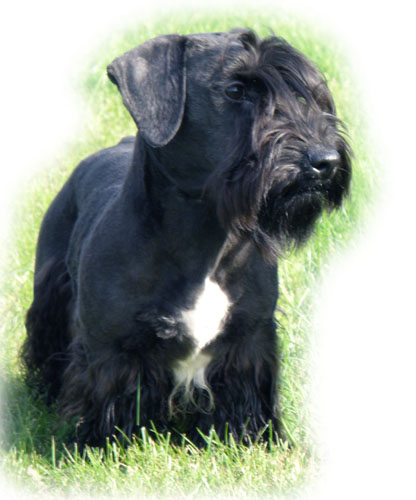 Cesky Terrier Puppies: Cesky Section Breed