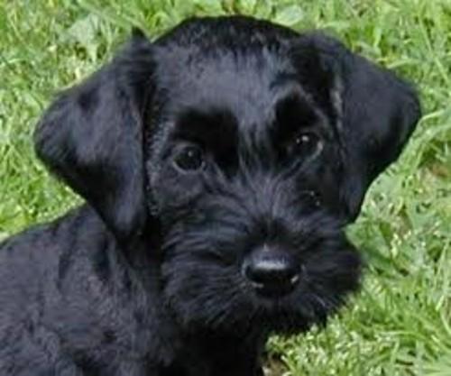 Cesky Terrier Puppies: Cesky Small Dog Breed The Cesky Terrier