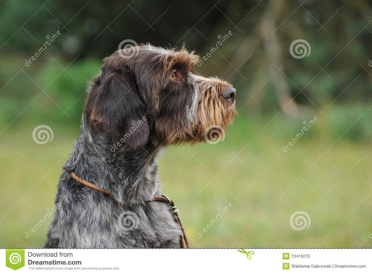 Cesky Fousek Dog: Cesky Stock Cesky Fousek Dog Breed